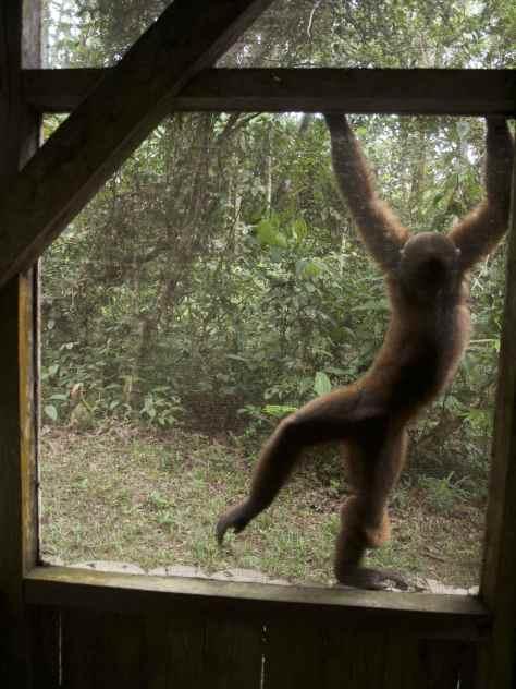 Volunteering with Woolly Monkeys in the Amazon Ecuador