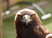 In the Golden Eagles Eyes