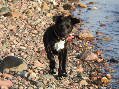 Suma, Patterdale Terrier