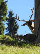 Red Deer, Wildpark Aurach, Austria
