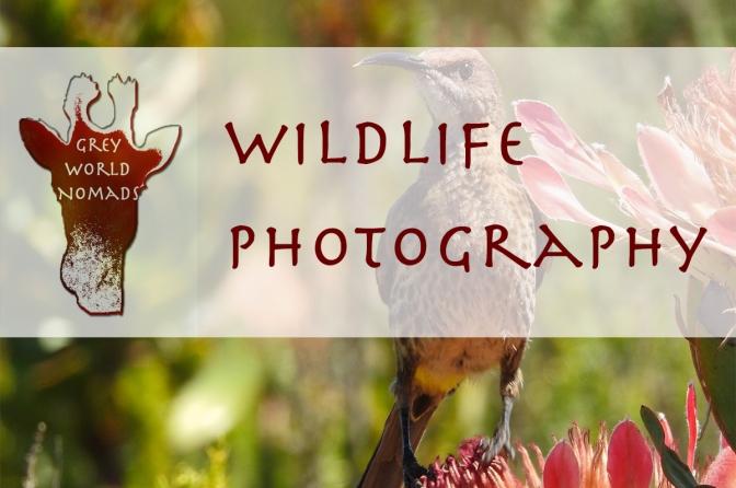 Cape Sugarbird In South Africa