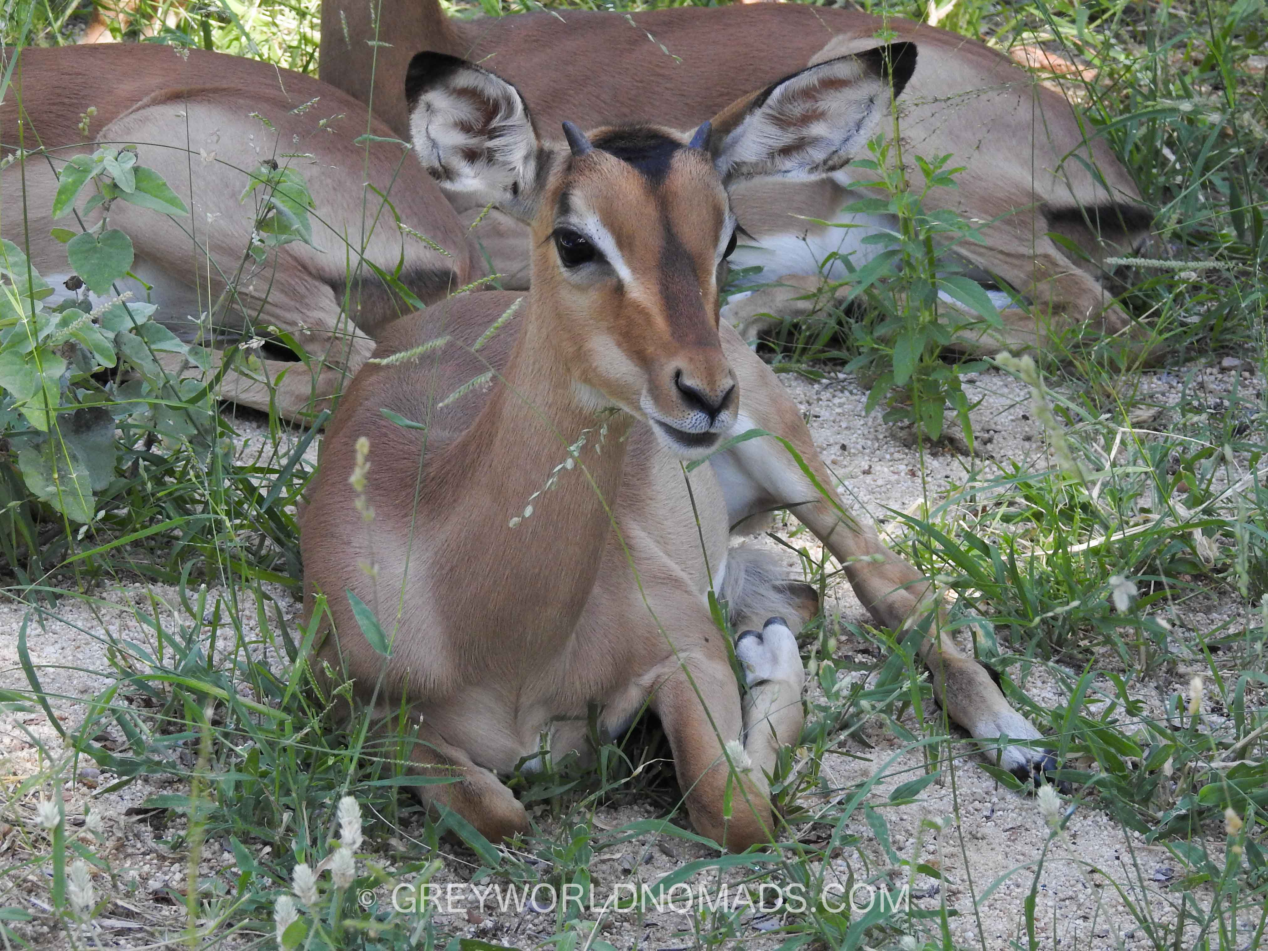 baby-impala-kruger-southafrica-1.jpg