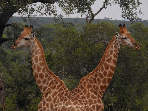 giraffe-with-two-heads-kruger-southafrica-1