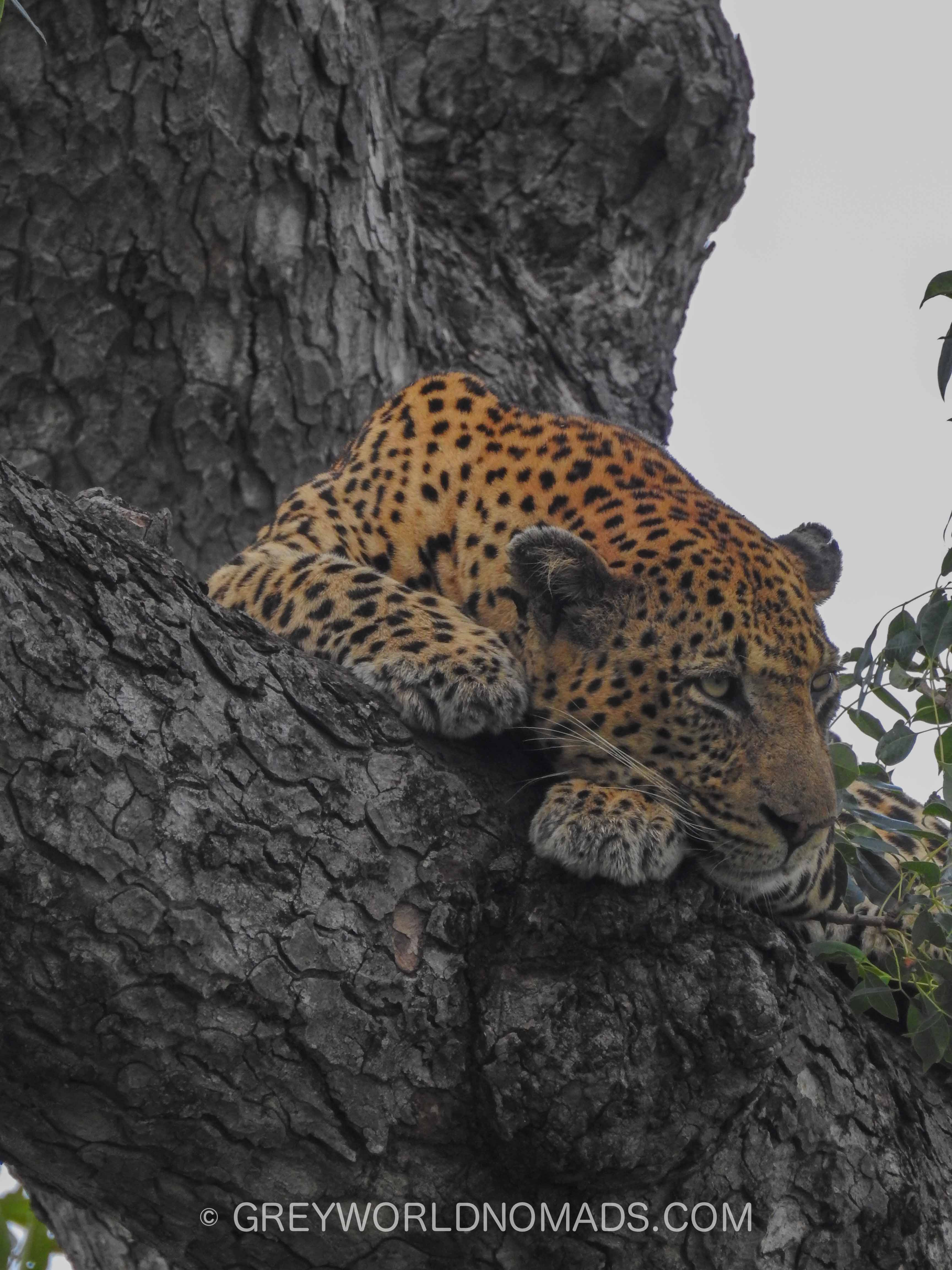 leopard-in-tree-kruger-southafrica-1