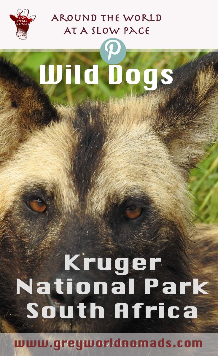 wild-dogs-kruger-2